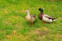 Two Mallard Ducks on green grass. Duck and drake have a rest on a green bright grass Stock Photos