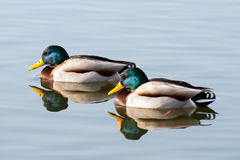 Two mallard ducks. Two mallard ducks on the lake Stock Images