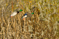 Two Mallard Ducks Landing in the Autumn Marsh. Two Mallard Ducks Landing in the Dry Autumn Marsh Royalty Free Stock Images