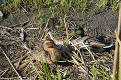 Two Mallard Ducks. Male and Female Mallard Ducks next to the water in the grass Stock Photography