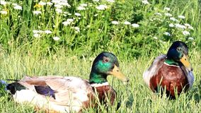 Two mallard ducks in the nature stock video footage