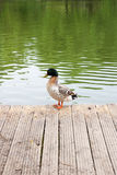 Two mallard ducks on old wooden pier at summer time. Royalty Free Stock Images