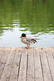 Two mallard ducks on old wooden pier at summer time. Royalty Free Stock Photography