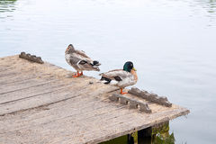 Two mallard ducks on old wooden pier at summer time. Two mallard ducks on old wooden pier. Mallard - a bird from the family of ducks detachment of waterfowl Royalty Free Stock Photos