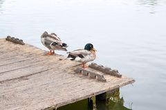 Two mallard ducks on old wooden pier at summer time. Royalty Free Stock Photos