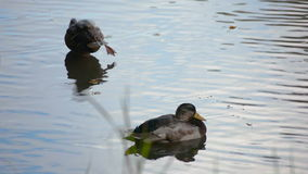 Two Mallard Ducks Resting. In shallow water in the pond stock video footage
