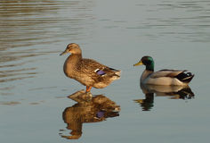 Two mallard ducks resting on water Stock Photography