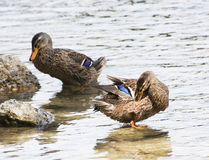 Two mallard ducks in a river Stock Photography