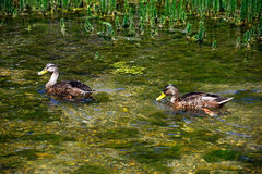 Two Mallard ducks on the River Coln, Bibury. Royalty Free Stock Images