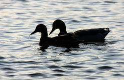 Two Mallard ducks in silhouette. Royalty Free Stock Photos