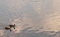 Two ducks on a river. Two mallard ducks swimming in the Allegheny River In Warren County, Pennsylvania, USA with room in the picture for added text Royalty Free Stock Photos