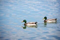 Free Two Mallard Ducks Swimming On Lake Stock Photos - 184299773
