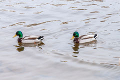 Two Mallard ducks. Swimming in a river Royalty Free Stock Image