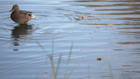 Two Mallard Ducks Swimming. In shallow water in the pond stock footage