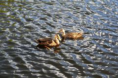 Two mallard ducks swimming. Stock Photography