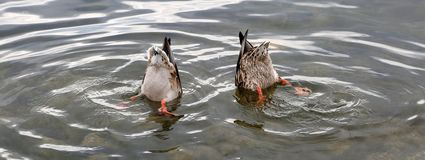 Two mallard ducks with their heads in the water. Two mallard ducks with their heads in the water searching for food on a spring day Stock Image