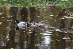 Two mallard ducks. Swimming in the water Royalty Free Stock Images