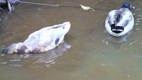 Two mallard ducks in water stock footage