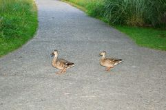Two Mallard Hens cross a path. A pair of Mallard Duck hens cross the walking path at Kathryn Albertson Park, a Wildlife Sanctuary in Boise, Idaho. Species: Anas Stock Photos