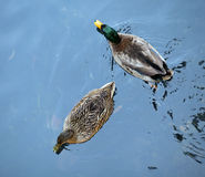 Two mallard swimming in the pond Royalty Free Stock Photography