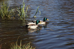 Two mallard on water Stock Image