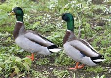 Two Mallards. Showing of their fine feathers Royalty Free Stock Photo