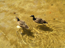 Two Mallards. A pair of mallards swimming in a transparent lake Stock Image