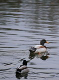 Two Mallards (Anas platyrhynchos) in the water.  Royalty Free Stock Photography