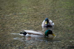 Two mallards. On a clear, mountain lake Royalty Free Stock Image