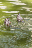 Mallards diving. Two mallards diving in a pond in a park Stock Image