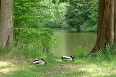 Two Mallards Dozing beside a Lake in Summer. Two mallards  are dozing beside a lake in summer, with eyes open and closed intermittently Royalty Free Stock Photo