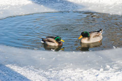Two mallards in the ice. Two wild mallard ducks swim in a small circle of open water in a frozen pond Stock Images