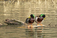 Two mallards on a log. Two male mallard ducks on a piece of wood preening themselve in Fernan Lake in north Idaho Royalty Free Stock Photography