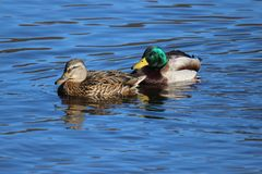 Two Mallards. A pair of mallard ducks swimming together on a lake  the male duck is behind the female duck Stock Image