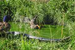 Two mallards in the pond. A pair of stick ducks bathing in a small grassy pool in summer. Male duck standing on the edge. Female duck with head dipped looking Royalty Free Stock Images