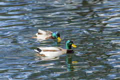 Two mallards in the pond. Stock Images
