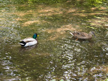 Two mallards swimming on a creek. On a sunny day Royalty Free Stock Images