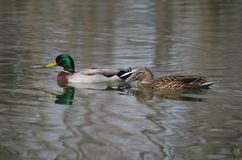 Two mallards swimming. Mallard duck and drake swimming at San Antonio Botanical Gardens Stock Photography
