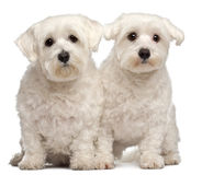 Two Maltese, 2 and 3 years old, sitting. In front of white background Royalty Free Stock Image