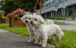 Two Maltese be kept on a leash Stock Photography