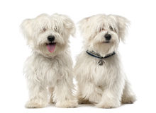 Two Maltese dog, 2 years old, sitting Royalty Free Stock Photography