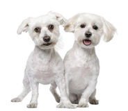 Two maltese dog (3 and 5 years old). In front of A white background Stock Photos
