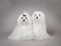 Two Maltese dog. Two Adult Maltese dog portrait Stock Photography