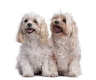 Two maltese dog sitting and panting (11 years old). In front of a white background Royalty Free Stock Photos
