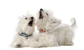Two Maltese dogs, 2 years old, lying. And play fighting against white background Royalty Free Stock Photography