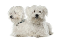 Two Maltese dogs, 2 years old, lying. Against white background Royalty Free Stock Images