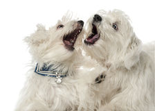 Two Maltese dogs, 2 years old, play fighting Stock Photo