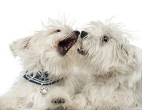 Two Maltese dogs, 2 years old, play fighting. Against white background Royalty Free Stock Image