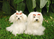 Two Maltese dogs. Two purebred malteses dogs sitting on a blanket in a park Stock Photos