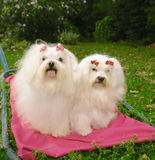 Two Maltese dogs. Two purebred malteses dogs sitting on a blanket in a park Royalty Free Stock Photo